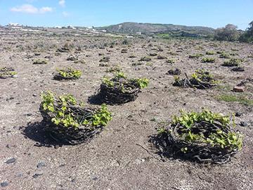 Santorini vines