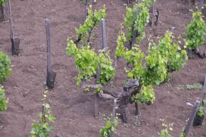 Alberello vine training